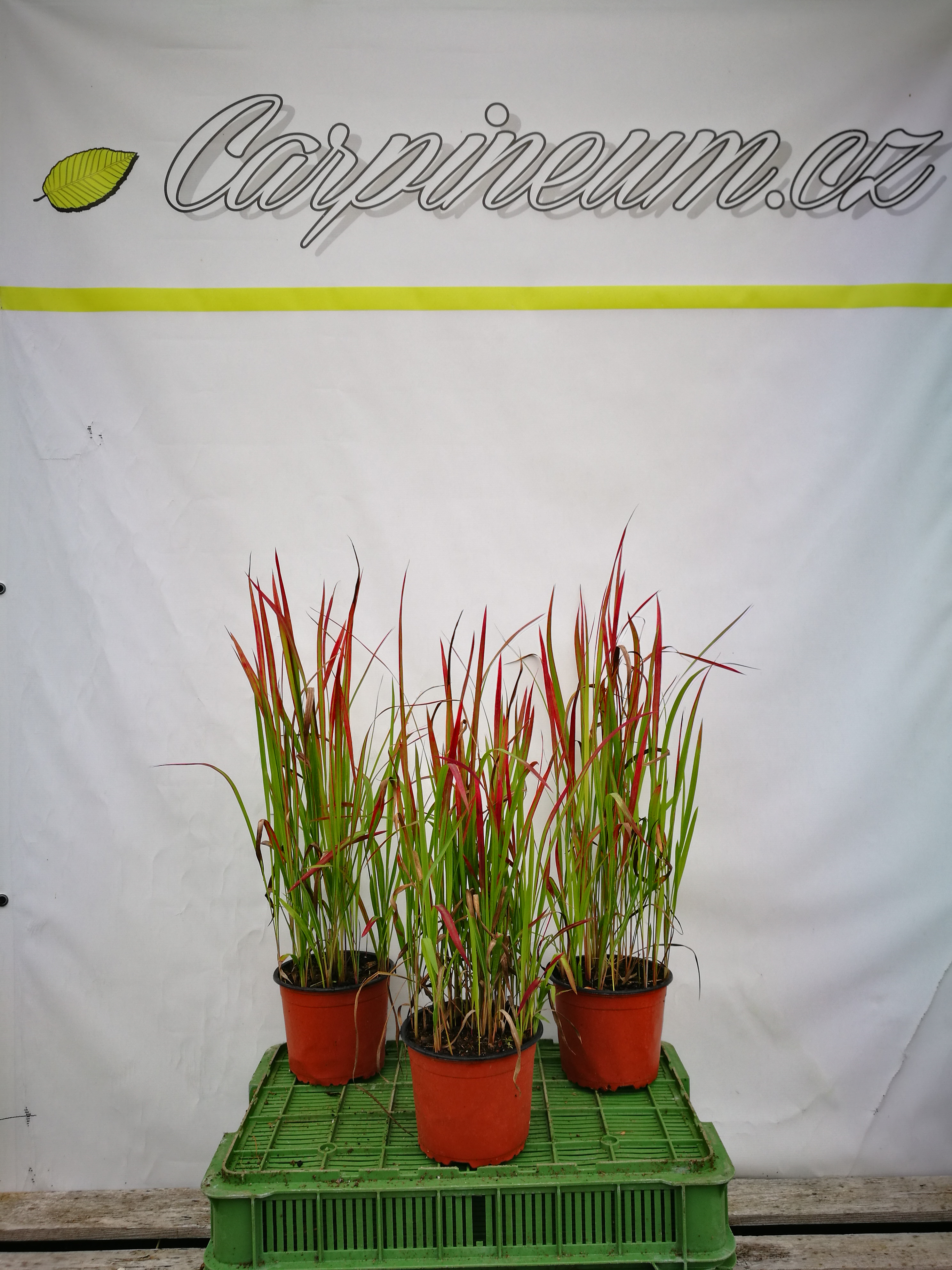 Imperata cylindrica  'Red Baron'  30-40 cm